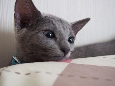 愛猫ロシアンブルー生後4ヶ月