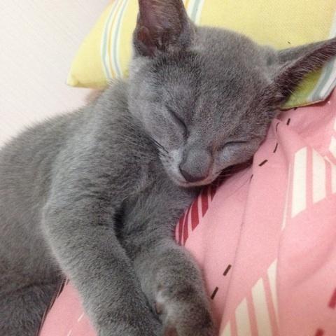 愛猫ロシアンブルー生後3ヶ月半の画像