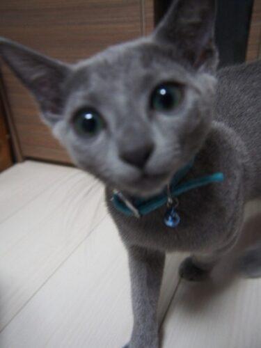 ロシアンブルー猫生後3ヶ月