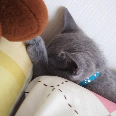 ロシアンブルー ロシアンブルーの粗相問題 仔猫のロシアンブルー画像
