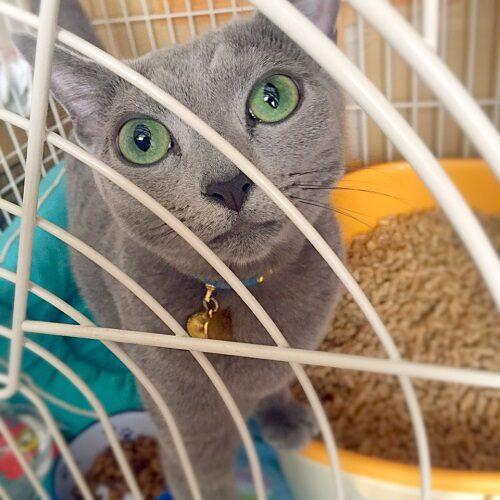 ロシアンブルー,猫の噛み癖,ロシアンブルーの飼い方