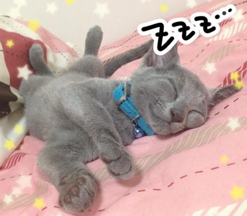 ロシアンブルー 仔猫