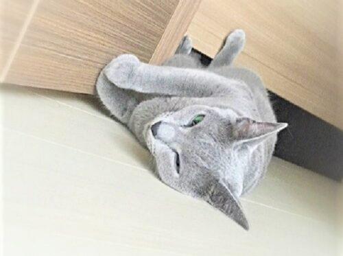 ロシアンブルー 猫の抜け毛